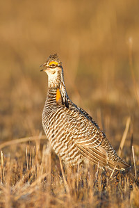 Greater Prairie Chicken, Glacier Ridge NWR