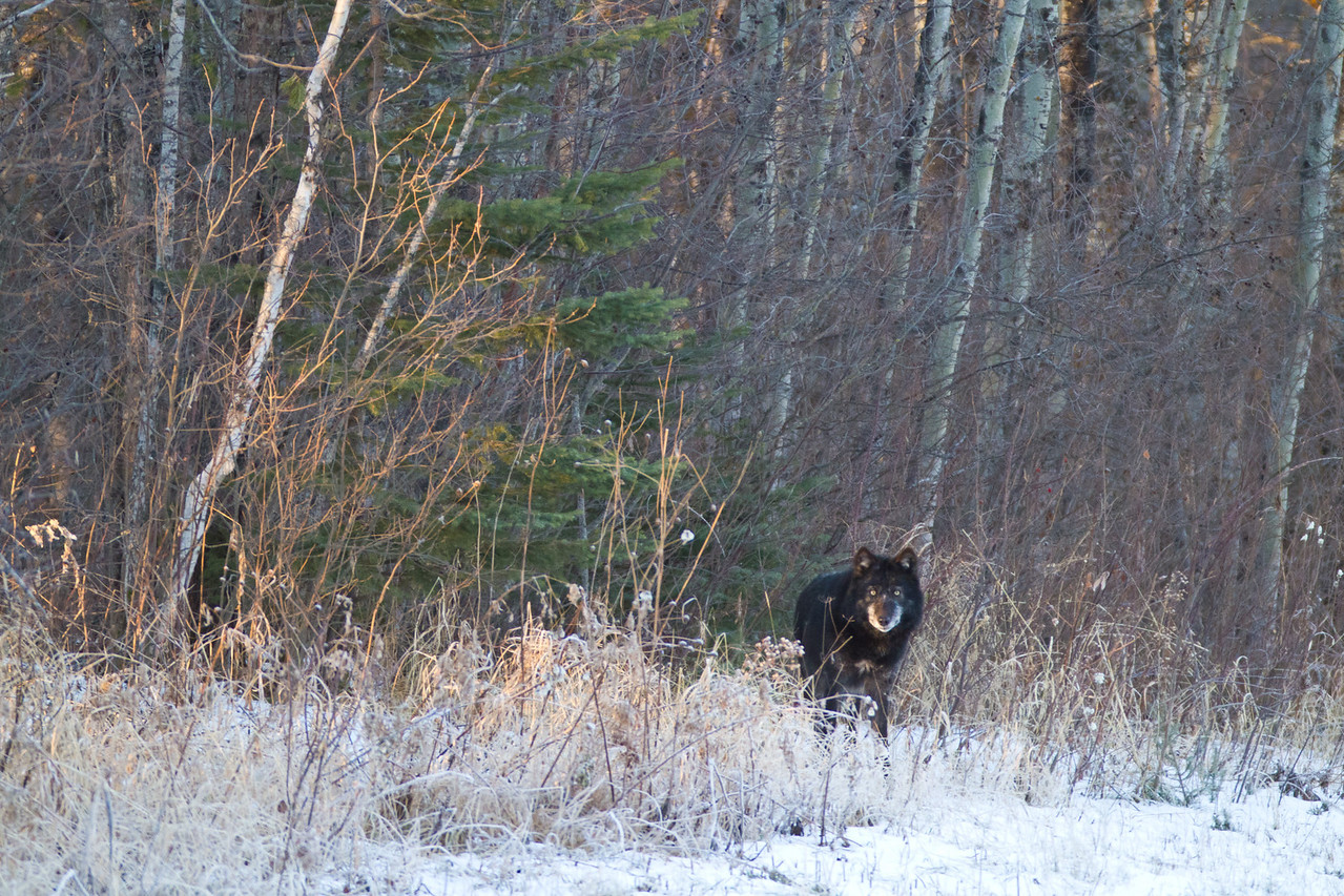 Black Wolf in First Snow of the Season