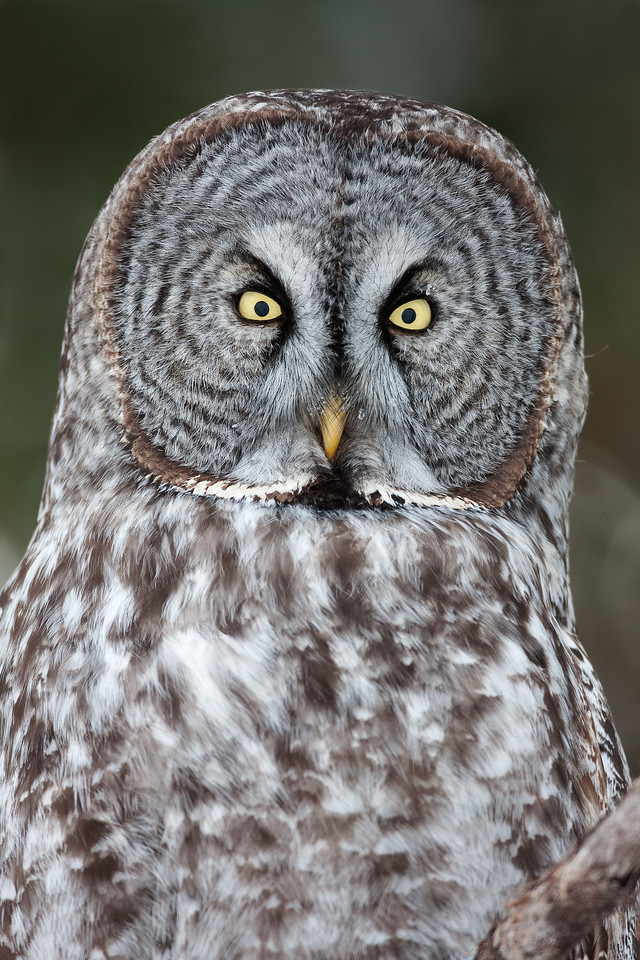 Great Grey Owl, Manitoba Canada