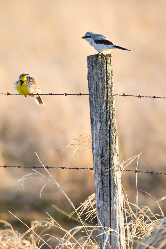 Western Meadow Lark and Northern Shrike in Conversation
