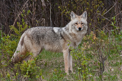 Coyote, Riding Mountain National Park, Manitoba