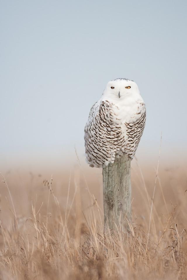 Snowy Owl, Oak Hammock Marsh Manitoba