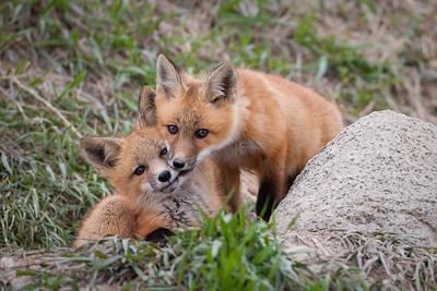 Fox Pups, Erickson, Manitoba