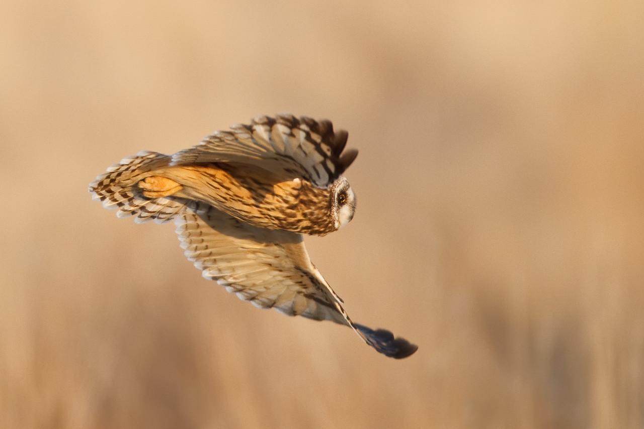 Short Eared Owl Glide By in Early Morning Light