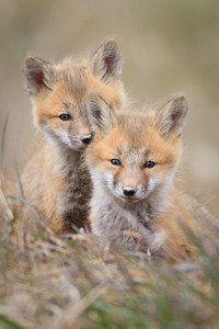 Foxes, Riding Mountain National Park