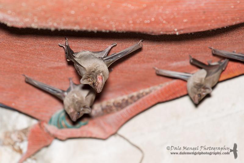 Coastal Sheathtail Bat (Taphozous australis)