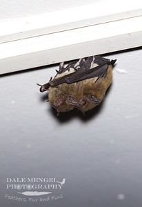 Eastern Cave Bat (Vespadelus troughtoni)