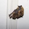 Eastern Cave Bat (Vespadelus troughtoni)