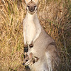 Pretty-faced Wallaby (Macropus parryi)