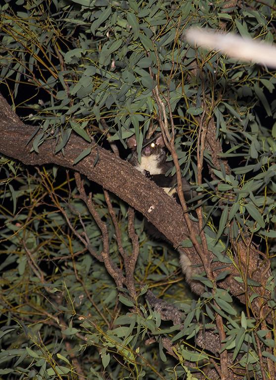 Greater Glider (Petauroides volans)