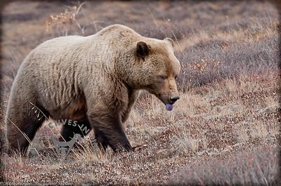 Denali Grizzly -  Purple Tongue
