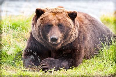 Alaska Brown Bear - ready for a nap