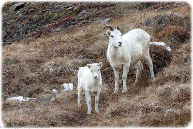 Denali Dall Sheep - Ewe and kid