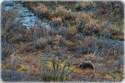 Denali Grizzly - by the creek