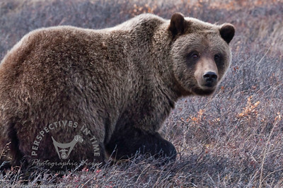 Denali Grizzly - Don't bother me!