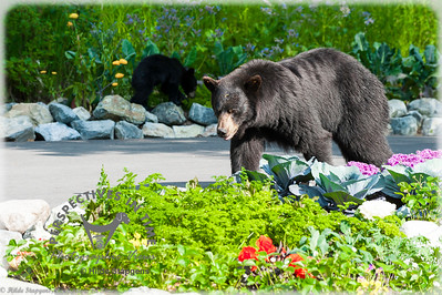 Black Bear sow and cub - checking out the flowers
