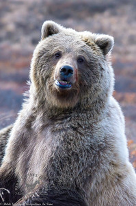 Denali Grizzly - Looking at You