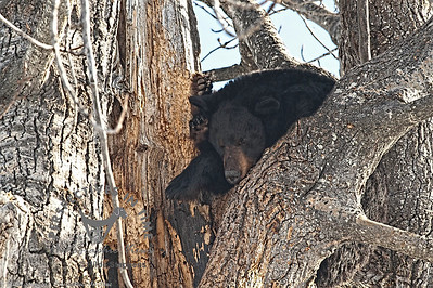 Black Bear - waking up from winter sleep
