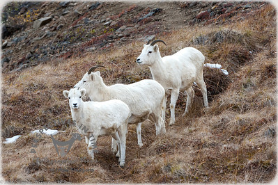 Denali Dall Sheep - all in line