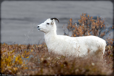 Denali Dall Sheep - I see you