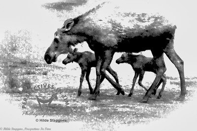 Moose cow with twin calves - digital painting BW