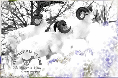 Three Dall Sheep Rams - digital painting
