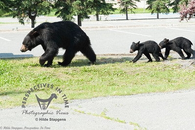 Black Bear sow and twin cubs - leaving the school parking lot