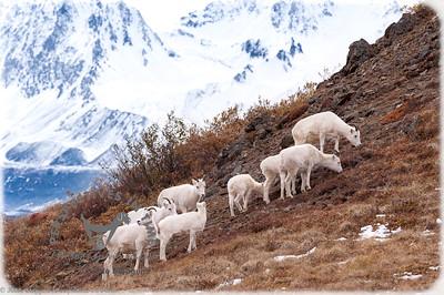 Denali Dall Sheep - grazing
