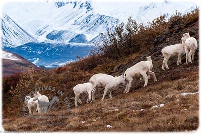 Denali Dall Sheep - playing