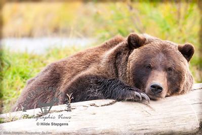 Alaska Brown Bear - Taking a rest