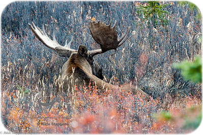 Denali Bull Moose - resting