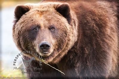 Alaska Brown Bear - Chewing on grass