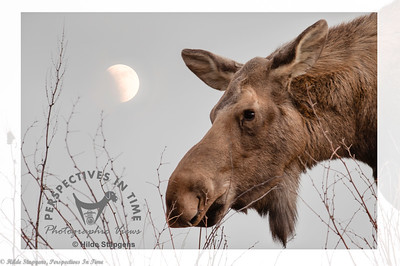 Moon with Moose