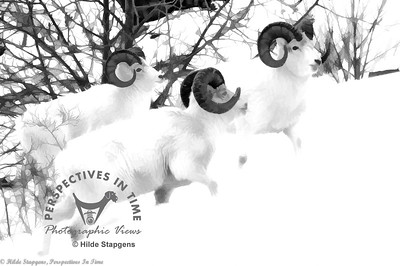 Three Dall Sheep Rams - digital painting-2