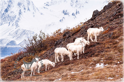 Denali Dall Sheep - watching