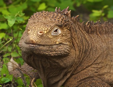 A Large Land Iguana near Urbina Bay on Isla Isabela in the Galapagos Islands