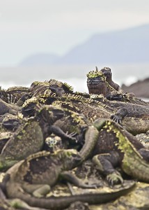 A large group of Galapagos Marine Iguanas Bask in the Sun on Fernandina Island in the Galapagos