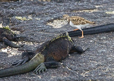 A Galapagos Mockingbird looks for dinner in a large group of Galapagos Marine Iguanas Basking in the Sun on Fernandina Island in the Galapagos