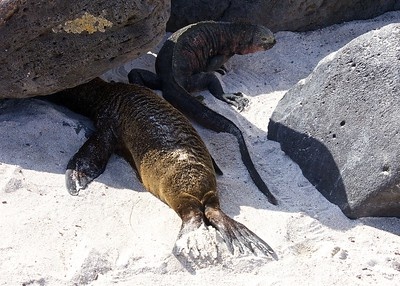 A Galapagos Marine Iguana shares space with a Sea Lion Pup on Puerto Suarez Island in the Galapagos