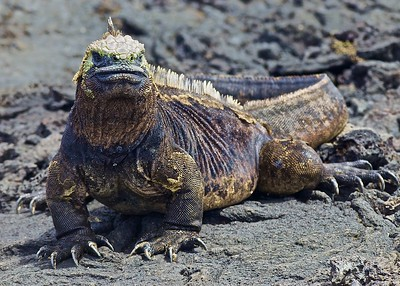 A Large Land Iguana on Punta Moreno Island in the Galapagos Islands