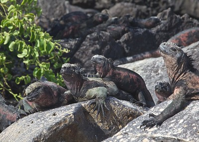 Galapagos Marine Iguanas Bask in the Sun on Puerto Suarez Island in the Galapagos