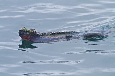 A marine iguana swims in the water near Punta Moreno in the Galapagos.  Marine Iguanas are only found in the Galapagos Islands.
