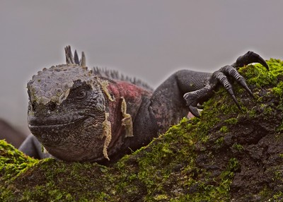 A Galapagos Marine Iguana Basks in the Sun on Espanola Island in the Galapagos