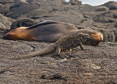 A Marine Iguana and a Fur Sea Lion on Isla Isabela in the Galapagos Islands.