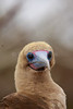 Red-footed Booby<br /> (Sula sula)<br /> <br /> You may purchase a print or a digital download. If purchasing a digital download please look at the licensing agreement terms for personal or commercial use.