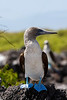 Blue-footed Booby<br /> (Sula nebouxii)<br /> <br /> You may purchase a print or a digital download. If purchasing a digital download please look at the licensing agreement terms for personal or commercial use.