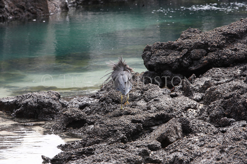Lava Heron<br /> (Butorides sundevalli)<br /> <br /> You may purchase a print or a digital download. If purchasing a digital download please look at the licensing agreement terms for personal or commercial use.