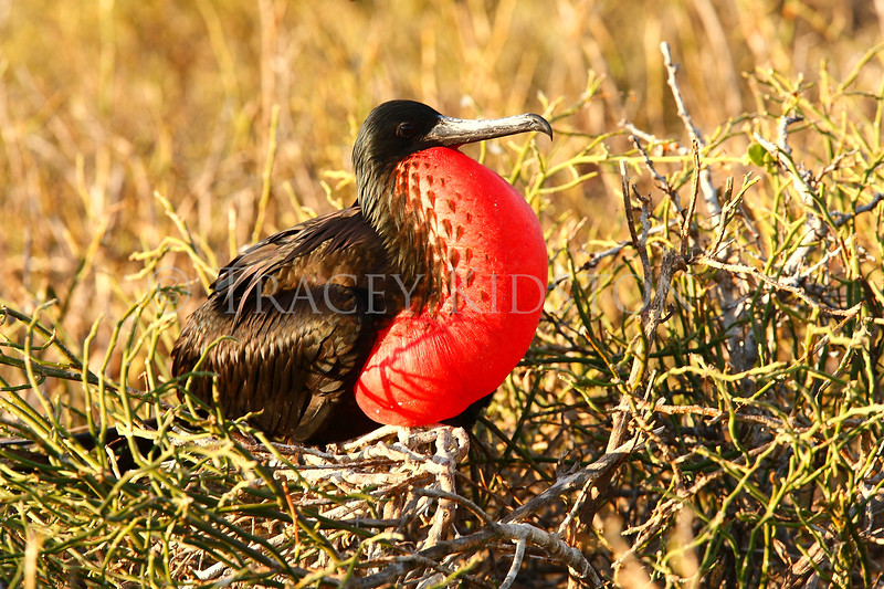 Great Frigatebird<br /> (Fregata minor)<br /> <br /> You may purchase a print or a digital download. If purchasing a digital download please look at the licensing agreement terms for personal or commercial use.