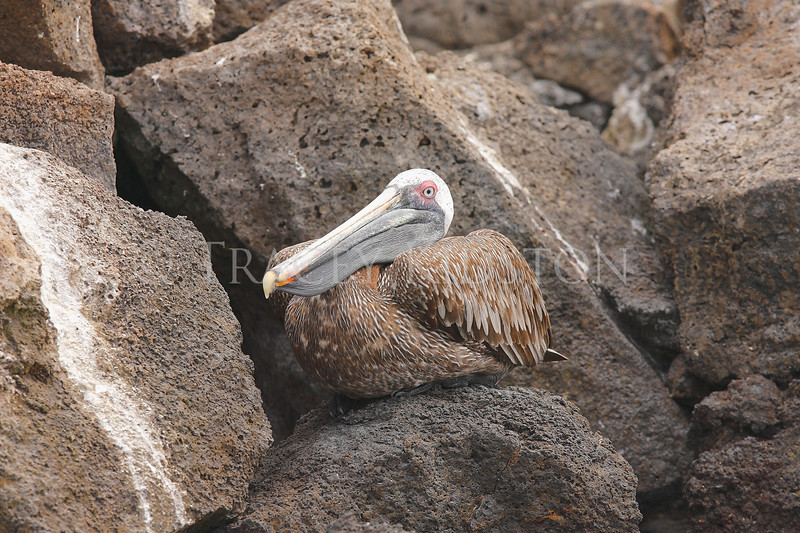 Brown Pelican<br /> (Pelecanus occidentalis)<br /> <br /> You may purchase a print or a digital download. If purchasing a digital download please look at the licensing agreement terms for personal or commercial use.