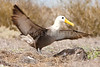 Waved Albatross<br /> (Phoebastria irrorata)<br /> <br /> You may purchase a print or a digital download. If purchasing a digital download please look at the licensing agreement terms for personal or commercial use.